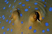 Eyes of Bluespotted Ribbontail Ray  - Red Sea Egypt