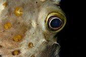 Oeil de poisson porc-épic ballon - Mer Rouge Egypte
