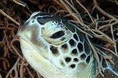 Portrait de Tortue imbriquée - Mer Rouge Egypte