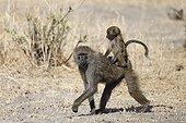 Yellow Baboon and young on the back - Tarangire Tanzania