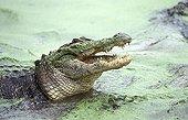 American alligator mouth open - Florida Everglades