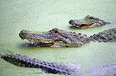American alligators in water - Florida Everglades