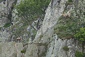 Chamois and young on cliff - Vosges Massif Hohneck France