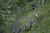 Chamois on rock - Vosges Massif Hohneck France