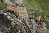 Chamois and young on rock - Vosges Massif Hohneck France  ; Nurserie