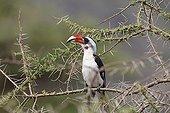 Red-billed hornbill on a branch - Serengeti Tanzania