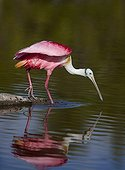 Spatule rosée péchant au PN des Everglades - Floride - USA