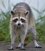 Female raccoon - Florida - USA