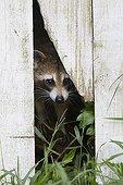Raccoon peering through a garden fence - Florida - USA