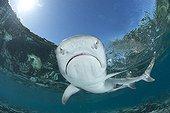 White-tip reef shark - Fiji Islands