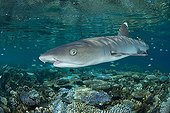 White-tip reef shark over shallow coral reef - Fiji Islands