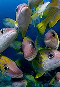 Common bluestripe snapper - Fiji Islands