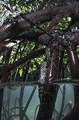 Mudskippers on a mangrove root - Fiji Islands