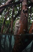 Mudskipper on a mangrove root - Fiji Islands