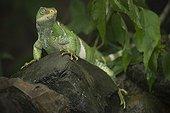 Fiji banded iguana on a rock - Fiji Islands