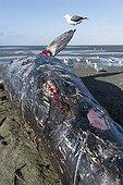 Jeune Baleine grise morte - Guerero Negro Basse Californie