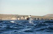 Mobula rays leaping - Gulf of California