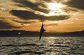 Mobula ray leaping at sunset - Gulf of California
