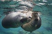 Lions de mer de Californie sous la surface - Mer de Cortez