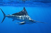 Sailfish below the surface - Gulf of California