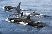 Killer whales swimming at the surface - Gulf of California ; with a young animal missing its dorsal fin
