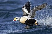 King Eider males taking off from water - Barents sea Norway