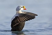 King Eider male stretching - Barents sea Norway