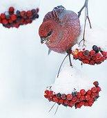 Male Pine Grosbeak feeding on Rowan tree berries - Finlande