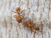 Larged-head ants on a trunk - Guyana