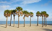 Mexican fan palms on a beach in Florida - USA