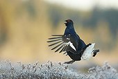 Male Black Grouse displaying at lek in flight - Finland