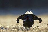 Male Black Grouse displaying at lek - Finland