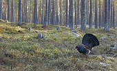 Male Capercaillie displaying in forest landscape- Finland