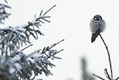 Hawk Owl at top of tree in winter - Finland