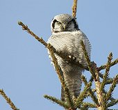 Hawk Owl at top of tree - Finland