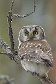 Tengmalm's owl on a tree branch - Finland