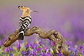 Eurasian Hoopoe on a branch - Spain