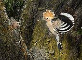 Eurasian Hoopoe feeding in flight - Spain