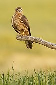 Montagu's Harrier on a branch - Spain