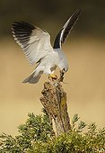 Black-winged Kite and prey on stump - Spain