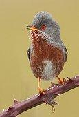 Dartford Warbler on a branch - Spain