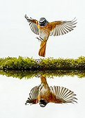 Common Redstart landing and reflection - Spain