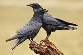 Common Ravens on a branch - Spain