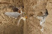Common Kestrel landing at nest in a cliff - Spain