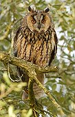 Long-eared Owl on a branch - Spain
