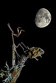 Conehead mantis on a branch and gibbous moon - Spain