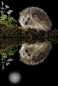 European hedgehog and its reflection in the moonlight - Spain