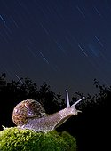 Burgundy snail in the stars - Spain