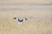 Marsh Harrier in flight over reedbed - Texel Netherlands