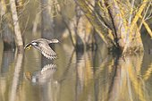 Northern Pintail flying over water - France